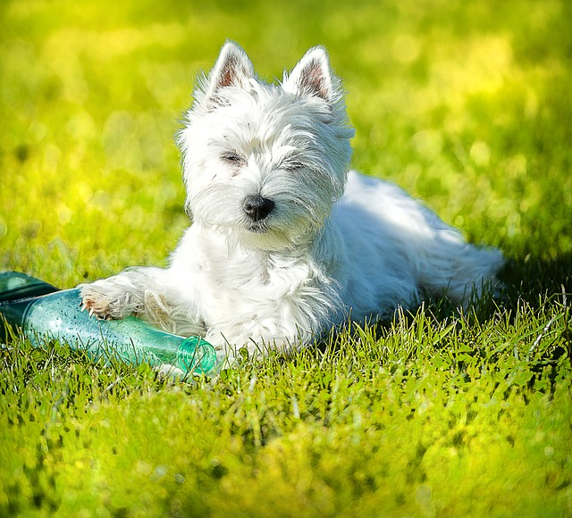 A picture of a wonderful Westie!