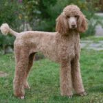 Poodle Grooming in Shrewsbury Shropshire